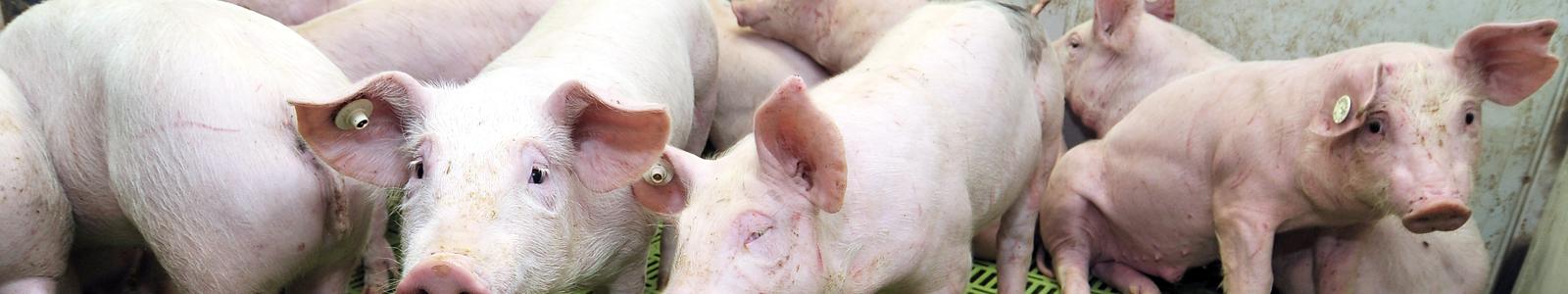 schweine wartestall mit kastenstand
